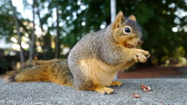 stockvideo's en b-roll-footage met a fox squirrel is eating peanuts - pinda voedsel
