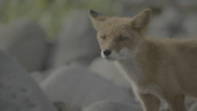 vídeos de stock, filmes e b-roll de fox standing among rocks, shiretoko, japan - bigode de animal