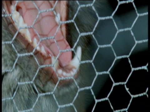 Fox stares in through chicken wire fence, UK