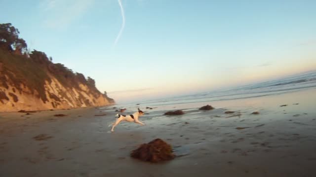 vídeos y material grabado en eventos de stock de a fox terrier dog running around as camera chases it during sunset at hendry's beach in santa barbara, california - terrier