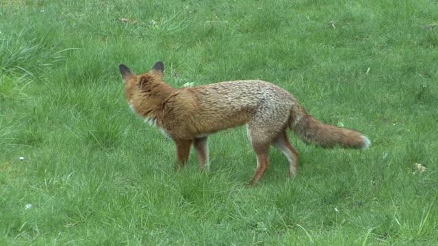 fox - surrey england stock-videos und b-roll-filmmaterial