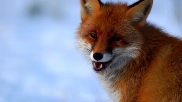 fox - fox stock videos and b-roll footage