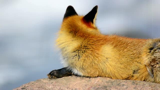 fox - animal nose stock videos & royalty-free footage