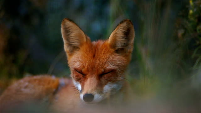 fox - yawning stock videos & royalty-free footage