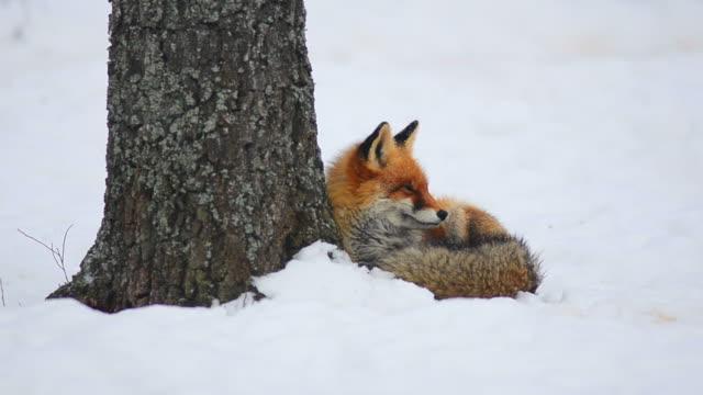 Fox wake up