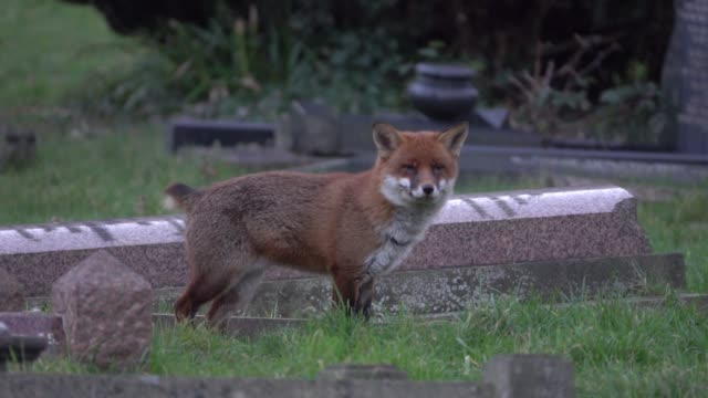 a fox walks through a cemetery at dusk on february 7 2018 in bath england although the number of foxes in the uk is actually on the decline according... - place concerning death stock videos and b-roll footage