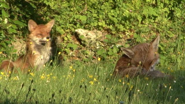 foxes pflege - surrey england stock-videos und b-roll-filmmaterial