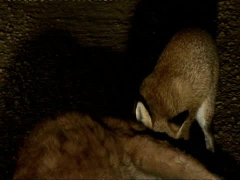 Foxes scavenging, eating kangaroo, CU, Australia
