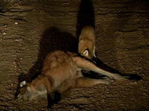 Foxes scavenging, eating kangaroo, MS, Australia