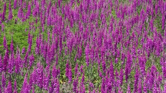 foxgloves, digitalis purpurea, growing on black fell, lake district, uk. - wildflower stock videos & royalty-free footage