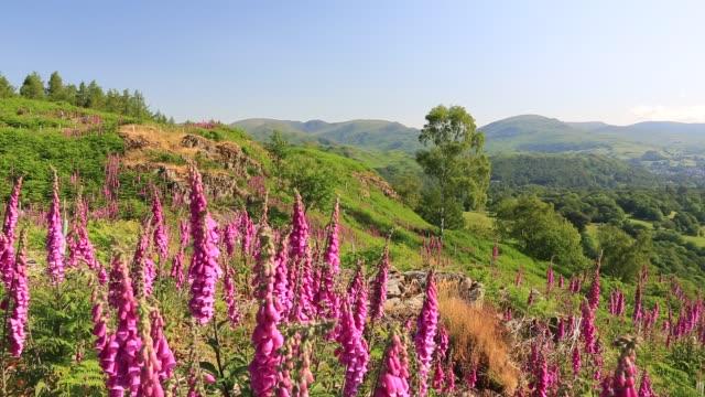 vidéos et rushes de foxgloves, digitalis purpurea, growing on black fell, lake district, uk. - fleur sauvage
