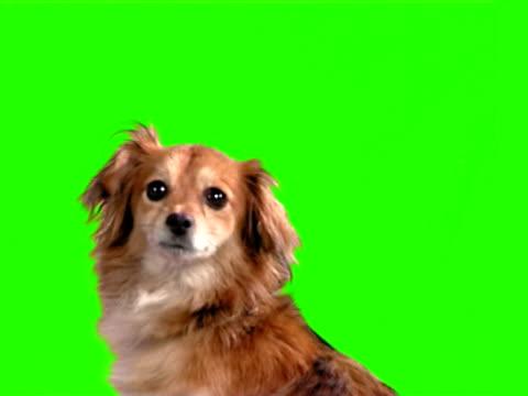 vídeos de stock e filmes b-roll de foxy cão - prontidão