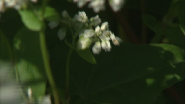 fragile buckwheat blossoms bob in the breeze. - buckwheat stock videos & royalty-free footage
