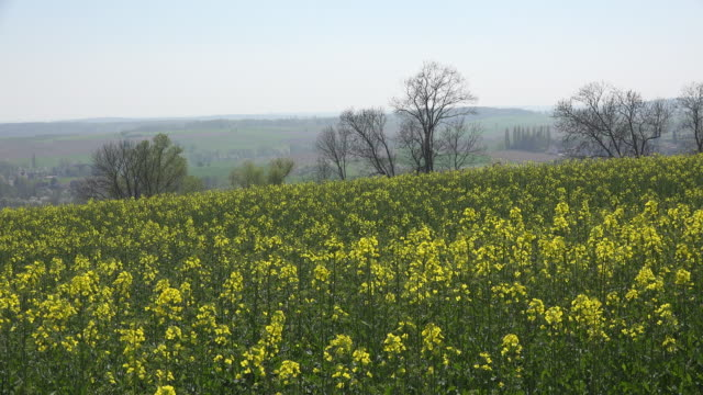 france alsace crop of yellow rapeseed flowers ) - oilseed rape stock videos & royalty-free footage
