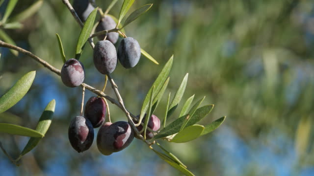 france, branch of olive tree with olives - provence alpes cote d'azur stock videos & royalty-free footage
