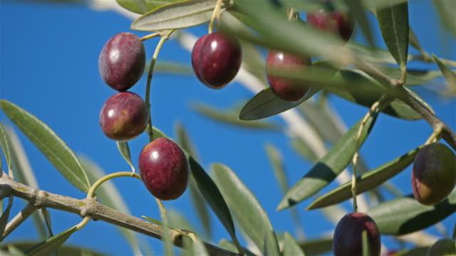 france, branch of olive tree with olives - オリーブ点の映像素材/bロール