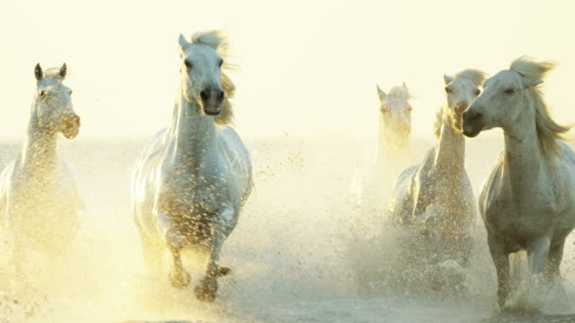 france camargue animal horse wildlife running sunrise cowboy - gallop animal gait stock videos & royalty-free footage