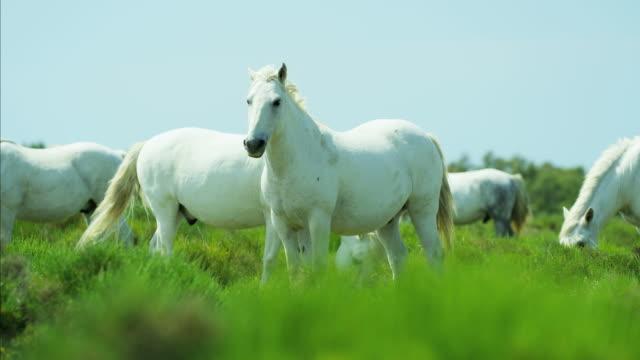 france camargue animal horses wild freedom stallion gelding - stallion stock videos & royalty-free footage