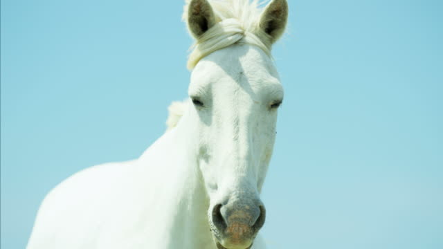 france camargue animal horses wild freedom white livestock - ウマ点の映像素材/bロール