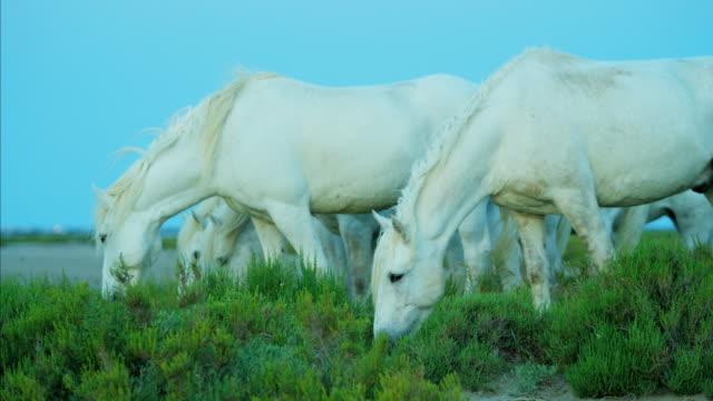 france camargue animal horses wildlife feeding stallion gelding - stallion stock videos & royalty-free footage
