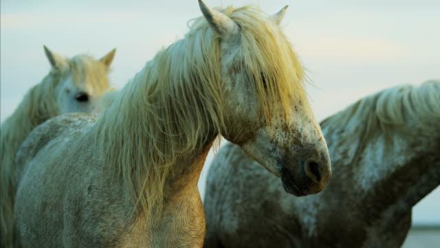 france camargue horse sunrise stallion gelding outdoors travel - stallion stock videos & royalty-free footage
