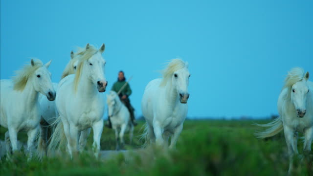 france camargue horse white running free stallion gelding - cowboy stock-videos und b-roll-filmmaterial