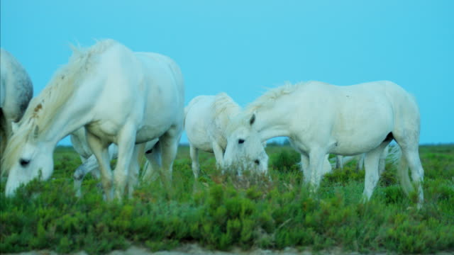 france camargue horse white stallion gelding vegetation feeding - stallion stock videos & royalty-free footage