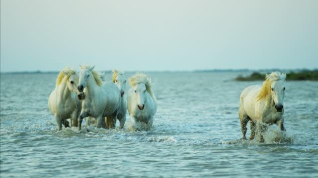 france camargue stallion gelding horse water running travel - stallion stock videos & royalty-free footage