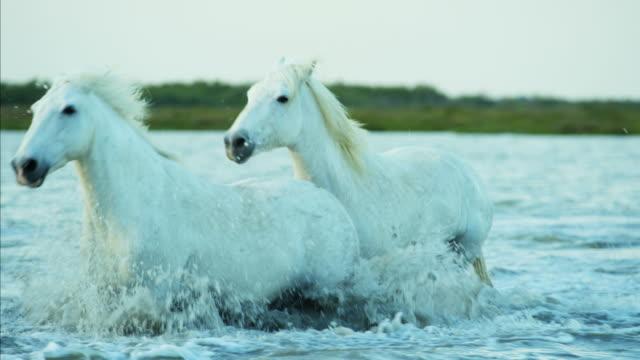france camargue stallion gelding horses water coastline running - stallion stock videos & royalty-free footage