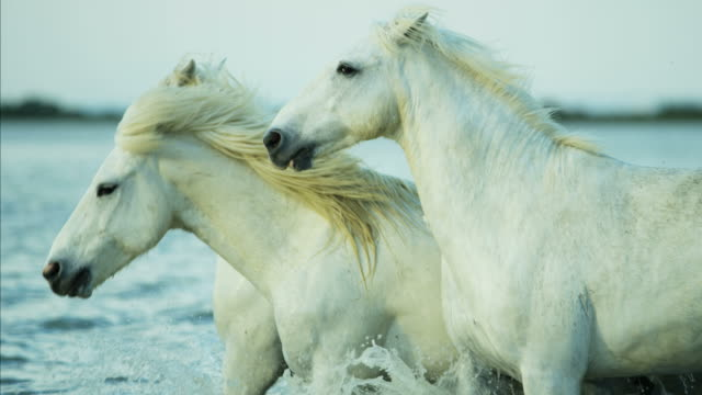 france camargue stallion gelding horses water running outdoors - stallion stock videos & royalty-free footage