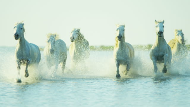 france camargue wild horses running rider cowboy water - trot animal gait stock videos & royalty-free footage