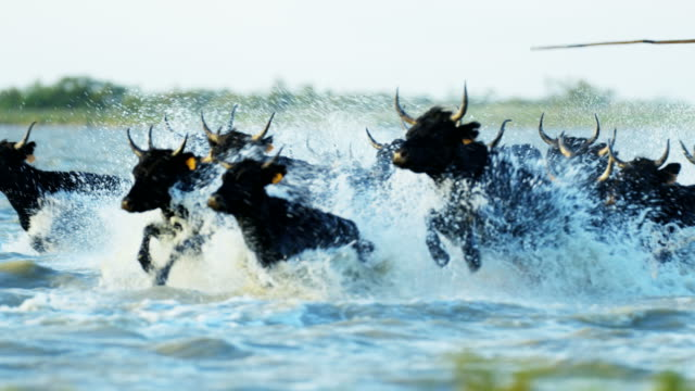 france cowboy camargue bull animal running marshland horse - charging sports stock videos & royalty-free footage