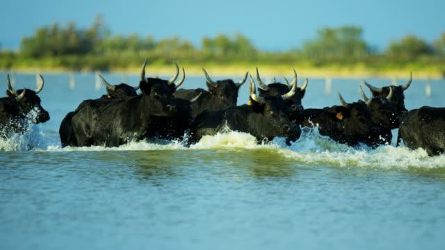 vidéos et rushes de france cowboy camargue bull animal wild black horse - taureau