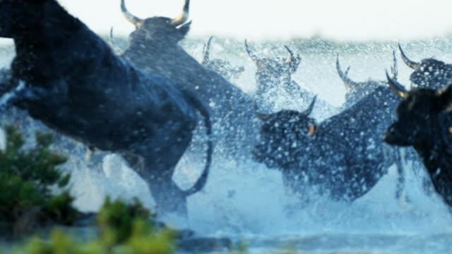 france cowboy camargue bull wild black horse water - bulle männliches tier stock-videos und b-roll-filmmaterial