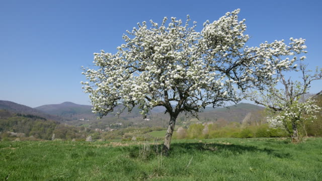 France fruit tree in bloom with blue sky