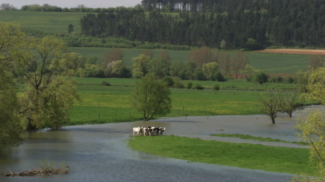 france, metz lorraine: cows surrounded by water - metz stock videos and b-roll footage