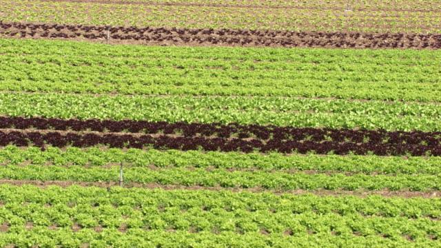 vídeos y material grabado en eventos de stock de france, metz lorraine: salad field - vegetal con hoja