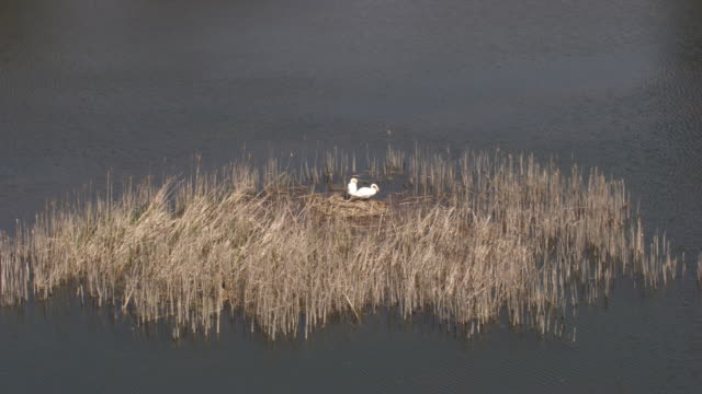 france, metz lorraine: swans building their nest - cigno video stock e b–roll