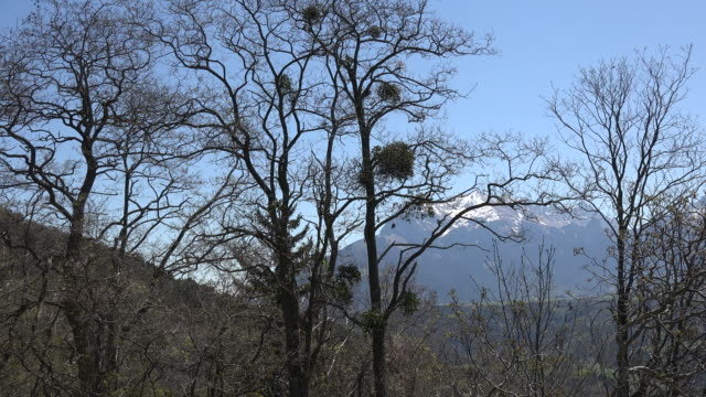 France mistletoe and alpine peak beyond zoom in