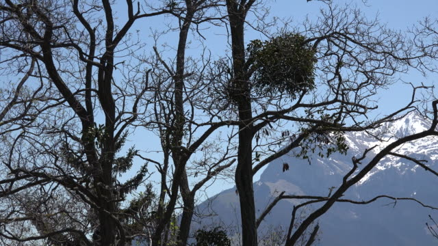 France mistletoe and barren spring branches
