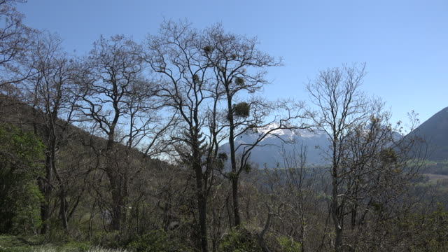 France mistletoe in trees with Isere Alta Alpi beyond