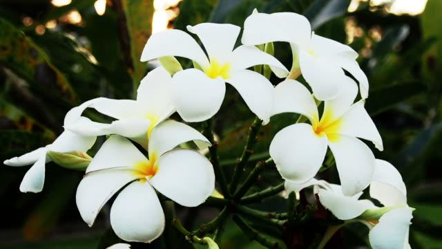 vídeos de stock e filmes b-roll de frangipana flores. - aloha