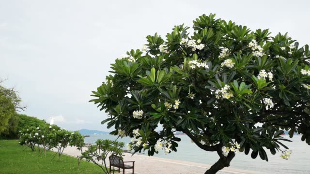 frangipani ,plumeria tree beside beach on koh sichang, chonburi, thailand. - 顕花植物点の映像素材/bロール