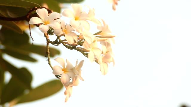 vídeos de stock e filmes b-roll de frangipana flor tropical - aloha