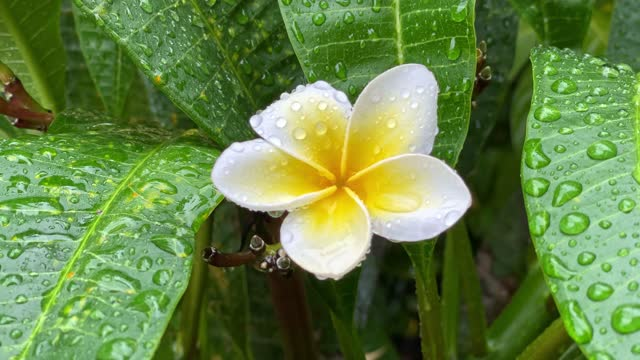frangipani with raindrops - tropical flower stock videos & royalty-free footage