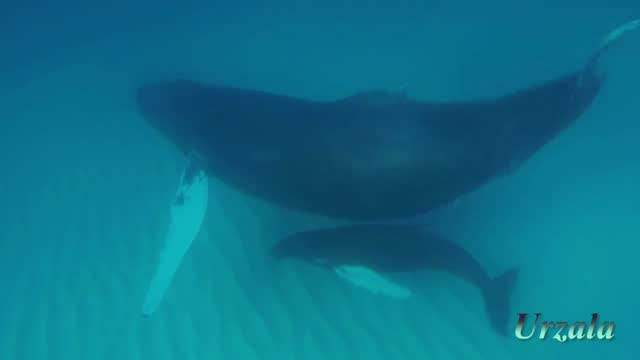 françois chauvin spent several months following the winter migration of humpback whales, from the atlantic ocean to the waters of the caribbean, to... - turks and caicos islands stock videos & royalty-free footage