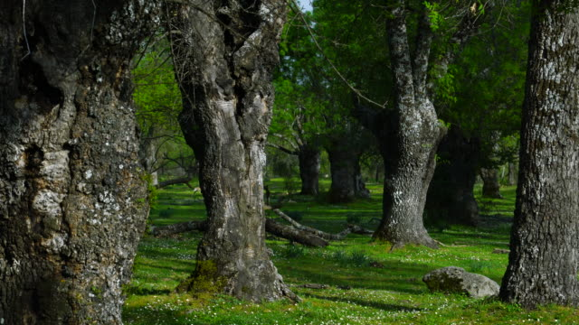 fraxinus excelsior — known as the ash, or european ash or common ash, herrería forest, san lorenzo de el escorial, madrid, spain, europe - ash stock videos & royalty-free footage