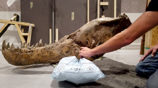 Fred Deurman and Remmert Schouten from of Naturalis Biodiversity Center unpack Trix the T Rex at Glasgow's Kelvin Hall the world's only real touring...