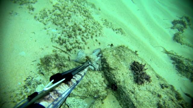 free pesce lucertola della pesca in apnea, giocando con polpo - arpone video stock e b–roll