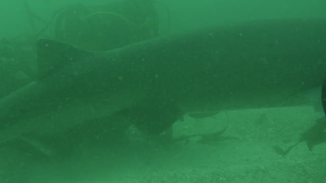 stockvideo's en b-roll-footage met cu free diver takes photo of cow shark, south africa , 2013 - vrouwtjesdier